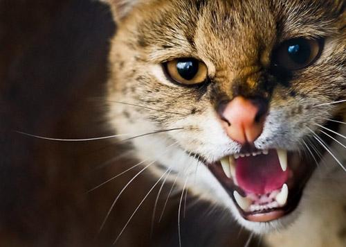 dangerous-cat