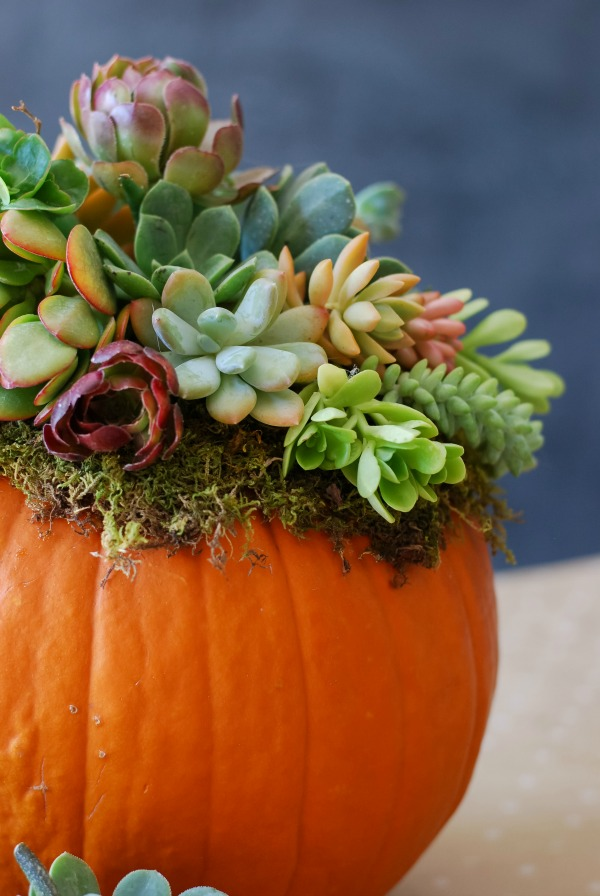 Pumpkin Succulent - London Drugs Blog